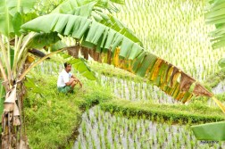 man-in-ricefield-bali