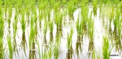riceplant-bali
