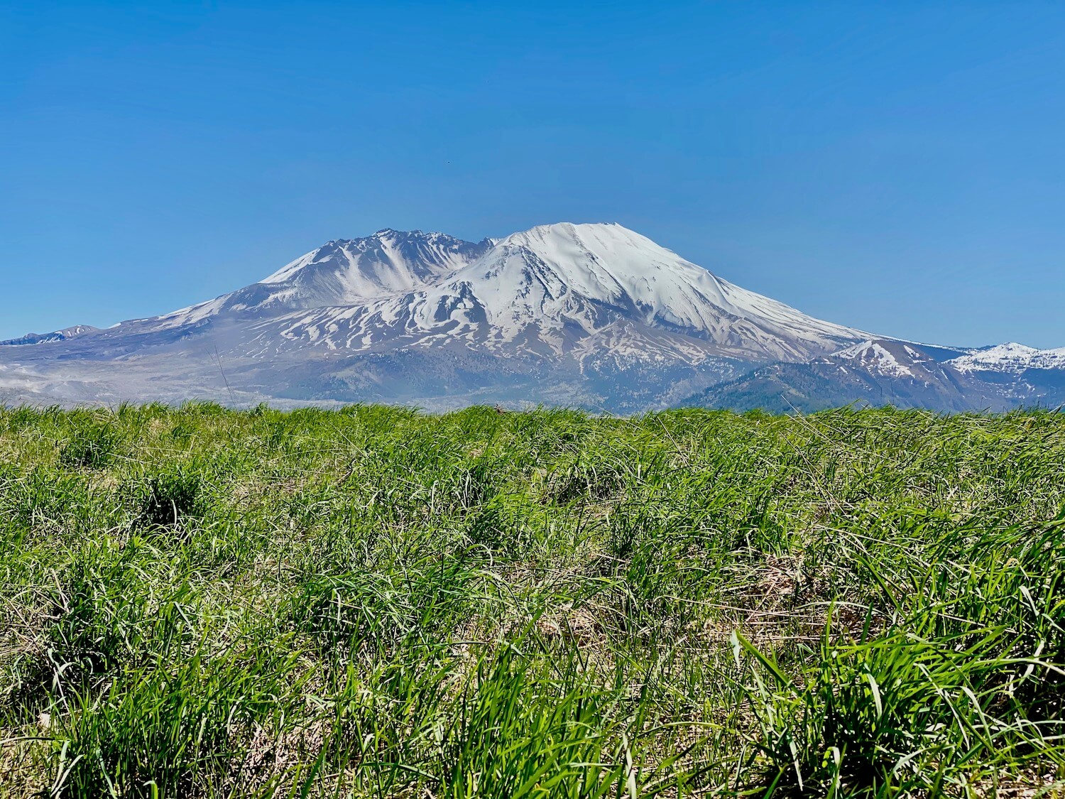 View of Mt. St. Helens on a blue sky sunny day from the Spirit Lake Memorial Highway. The grass is growing up bright green on a hillside the looks toward the snow-covered mountain with gray veins of rocky surfaces leading to largest areas of gray ashy ground. The sky is bright blue.