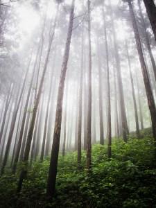 Sumuinen metsä alaviistosta kuvattuna.
