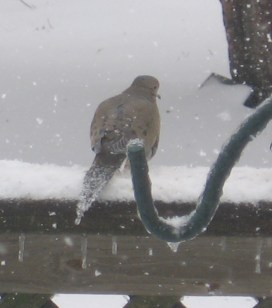 Mourning Dove, tail frozen