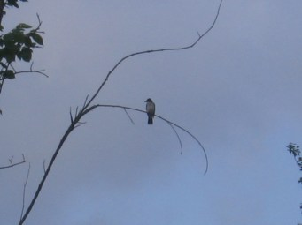 Eastern Kingbird perched near its nest