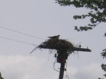 Osprey on nest, Clayton, NY