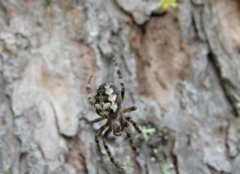 Araneus marmoreus, maybe?