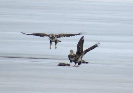 Bald Eagles squabbling over a muskrat