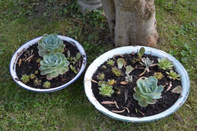 diverses succulentes