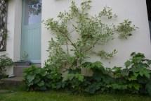 cornouiller panaché (cornus alb. elegantissima), roses trémières et anémones du Japon