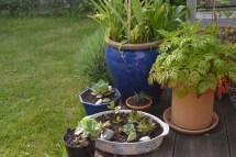 diverses succulentes, bulbes et geranium de Madère