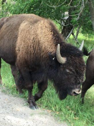 Bison south dakota ketan deshpande Minnesota MN