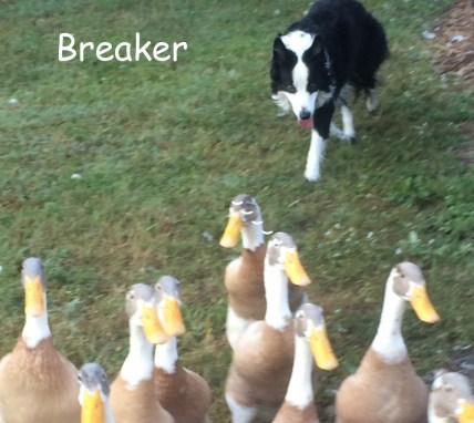 breaker sheep