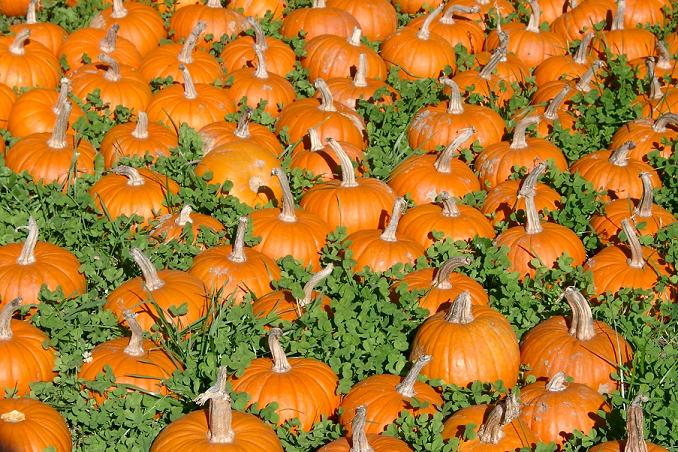 a field of pumpkins