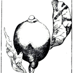 line drawing of a lemon