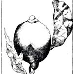 line drawing of a lemon