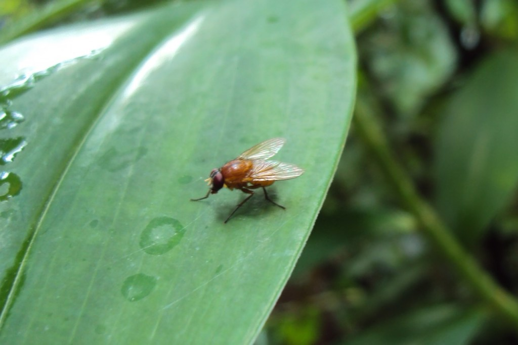 fruit fly on a leaf