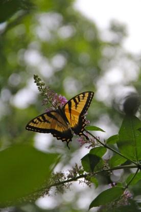 Yellow Butterfly © KETMALA'S KITCHEN 2012-13