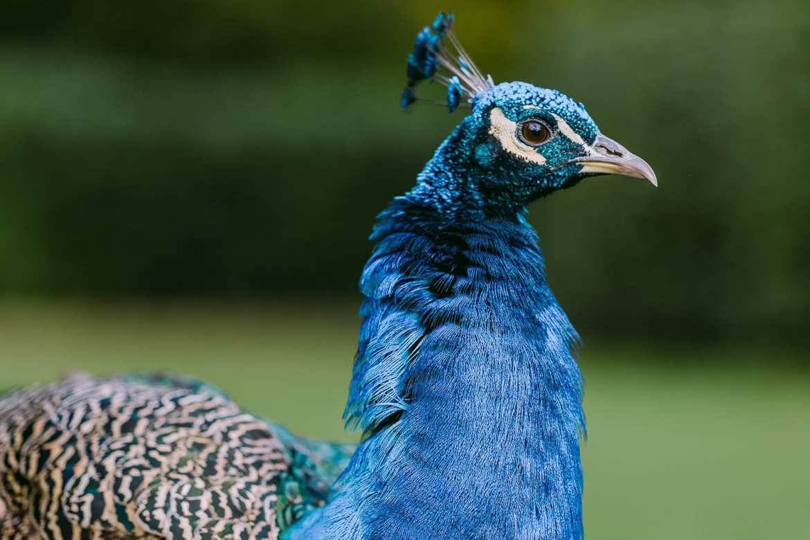 Close up of peacock in the gardens