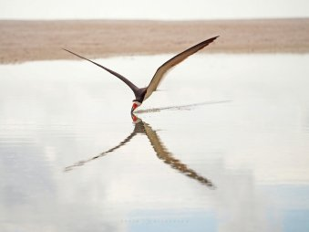 """X-Wing: skimming across the water, the reflection of a black skimmer creates a visual """"X""""."""