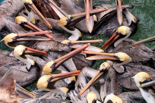 Feeding Frenzy: a group of brown pelcians compete for food in Florida.