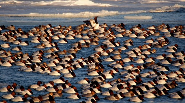 Cold Winter Gathering of Canvasback Ducks: a large flock of birds on the Detroit River.