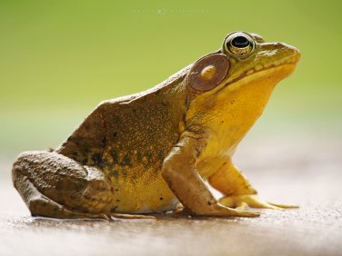 Bullfrog Side Profile: a photo revealing the detailed texture of a bullfrog's skin.