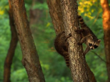 Hey, Where'd You Go? Newborn raccoon cubs chase each other around a tree trunk.