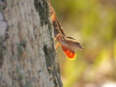 A Flash of Fire: a male brown anole makes his territory known by flashing his dewlap (throat flap).