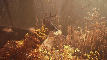 Magical Morning: a white-tailed deer buck reveals the chill in the air as he breathes out.