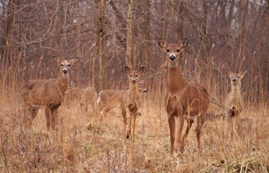 Safety in Numbers: a group of alerted white-tailed deer watch the camera closely.