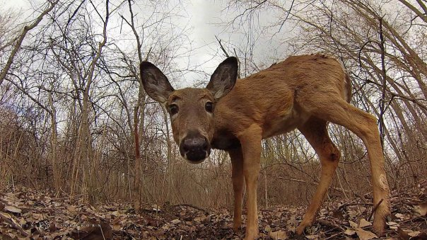 Inspecting the Remote Camera: a white-tailed deer doe approaches at a close range.