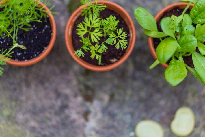spice seedlings growing