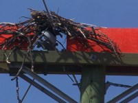 New nest on live hydro pole no good for authorities!
