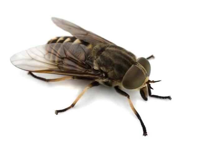 This image has an empty alt attribute; its file name is istock_000045227998large-horse-fly.jpg