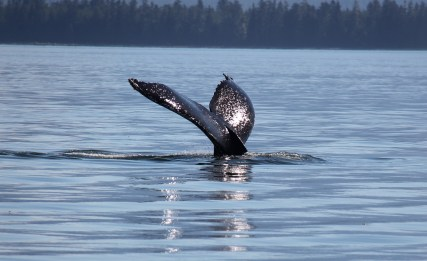 July 31, 2013 whale2