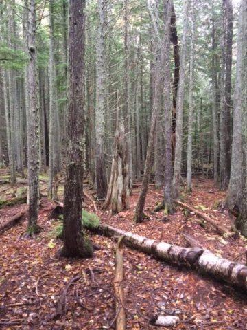 Cedar trail in Glacier National Park