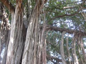 A view of the aerial prop roots which have reached the ground and begun to establish as woody trunks.