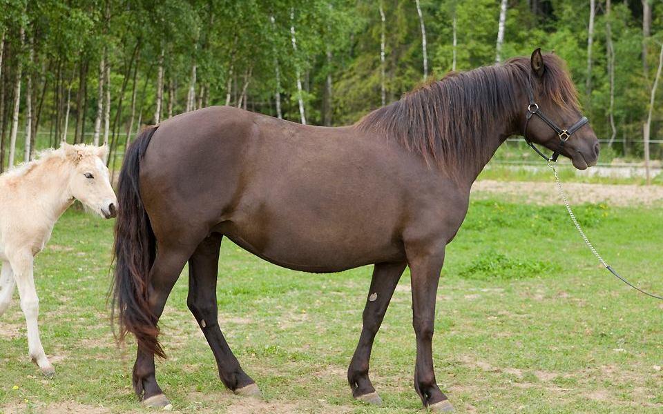 Eesti hobune – Rani 4405E