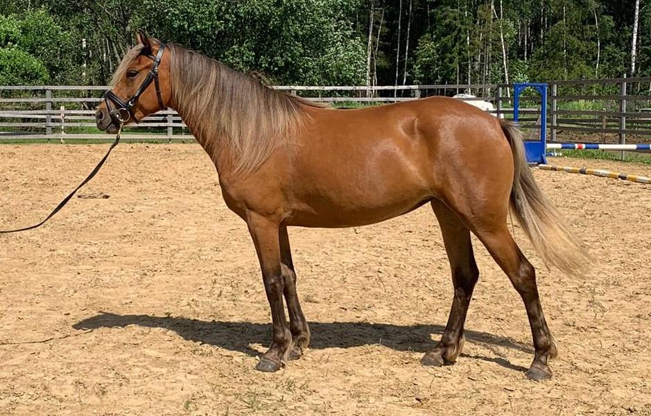 Eesti hobune – Rita