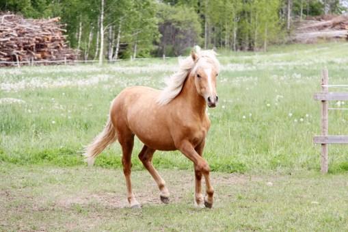Eesti hobune Tessera 1 aastane (2017)