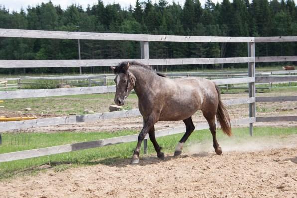 Eesti hobune Leiki 3 aastane (2018)