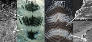 Fossil melanin -- Found in 100 million year old rocks in Brazil, melanin was found in  striped fossil feather.  Compared to recent woodpecker feather  with melanosomes in dark, but not light, areas. Credit: J. Vinther/Yale University