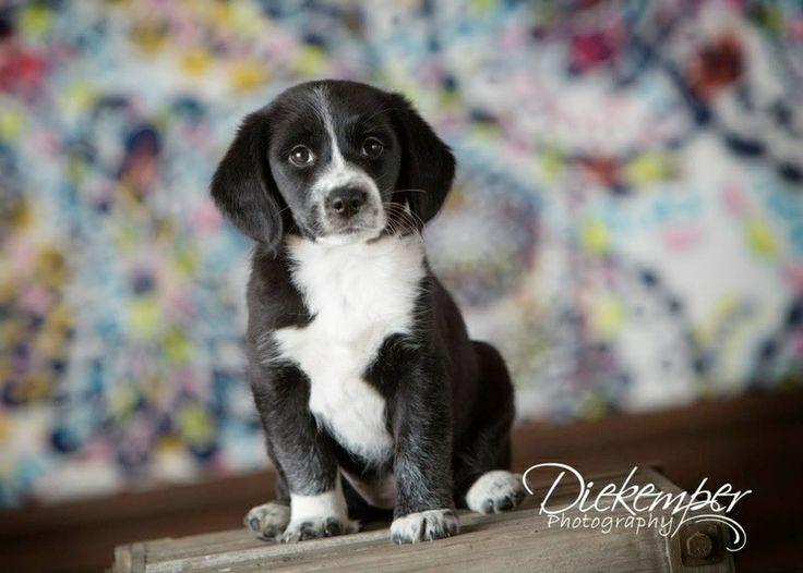 Border Collie X Beagle Border Beagle Womans Own
