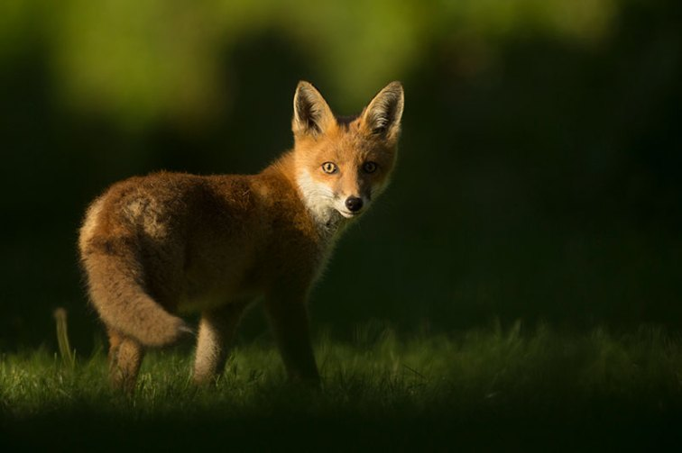 Wildlife photo ethics fox