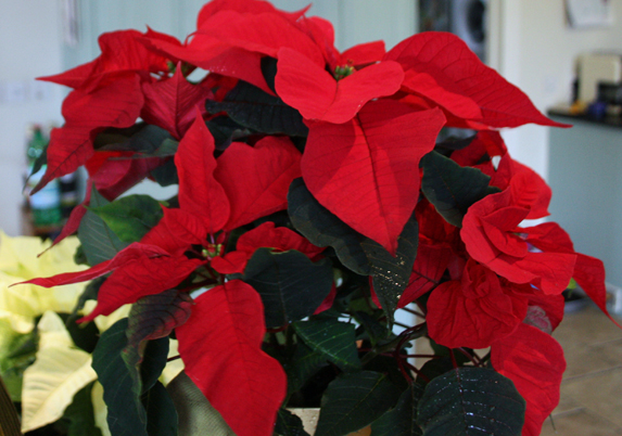 Keep Christmas House Plants Going For Longer Amateur Gardening