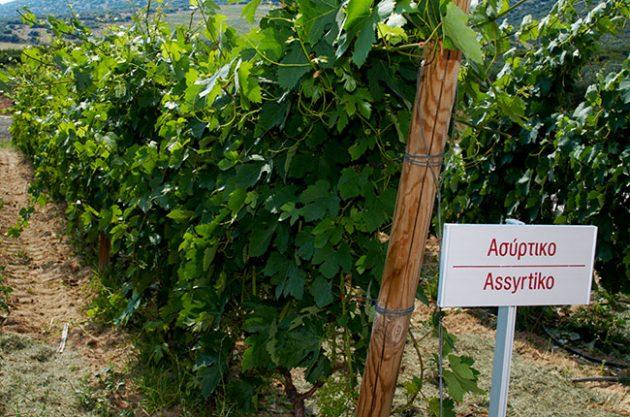 Greek grapes