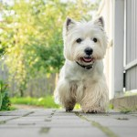 West Highland Terriers The Dogs That Are Clever Funny And Inquisitive With An Irresistibly Smiley Demeanour And A Skip In Their Step Country Life