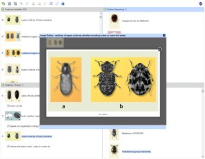 Beetles of the World Lucid Key feature gallery example