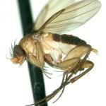 Dohrniphora longirostrata Lucid key