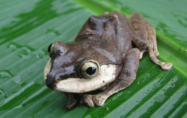 Frogs of the Solomon Islands Lucid key