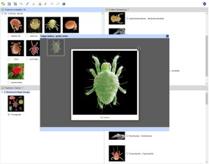 Mites in Soil - Lucid key feature gallery example