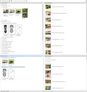 A Key to the genera of Australian Jumping Spiders (Araneae: Salticidae) Lucid key interface